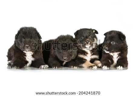 Four sweet fluffy puppies