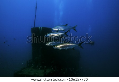 Four Tarpon swimming in front the smokestack on the USCG Duane in Key Largo, Florida - stock photo