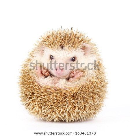 Four-toed Hedgehog, Atelerix albiventris, balled up in front of white background  - stock photo