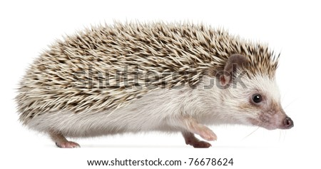 Four-toed Hedgehog, Atelerix albiventris, 6 months old, in front of white background - stock photo