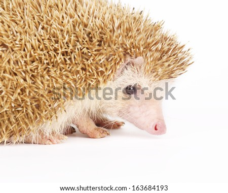 Four-toed Hedgehog, Atelerix albiventris, on white background
