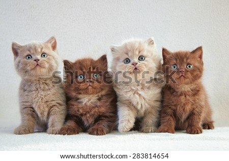 four various british kittens sitting on beige plaid - stock photo