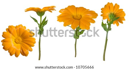 Four views of a yellow marigold. Elements for design.