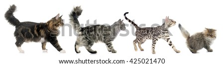 four walking cats in front of white background - stock photo