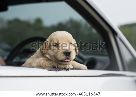 four week old golden retriever puppy outdoors on a car