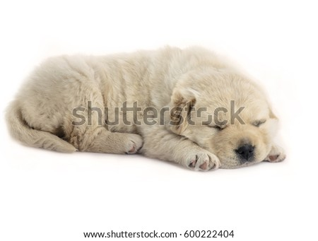 four week old  puppy sleeping side shot on a white isolated background, puppy is fluffy and cream in color,