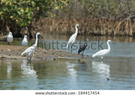 Four Western Reef Herons (Egretta gularis) (three of them white morph) and two gulls - stock photo