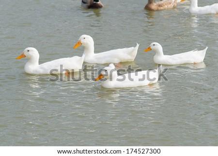 four white ducks swimming - stock photo