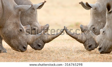 Four White Rhinoceros bulls (Ceratotherium Simum) locking horns and interacting in the Kruger National Park (South Africa) - stock photo