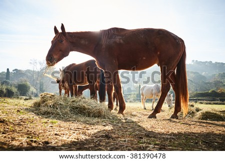 Four wild horses grazing in a field, eating grass, the morning frost on the grass, horse looking at the camera, white and brown horses, steam from the nostrils, backlight, sun glare - stock photo