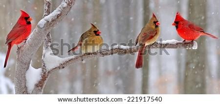 Four winter Northern Cardinals (Cardinalis cardinalis) on a snowy branch. - stock photo