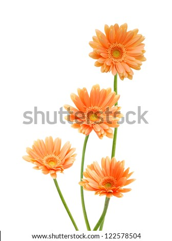 Four yellow Gerber flowers, daisies isolated on white - stock photo