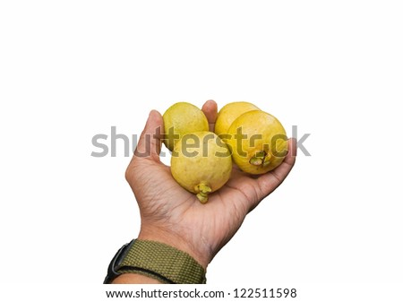 Four yellow rip wild guavas in hand holding out - stock photo