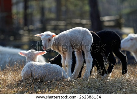 Four young lamb (two white and two black) in the sunny meadow. - stock photo