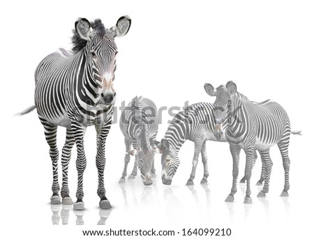 Four zebras are isolated on a white background