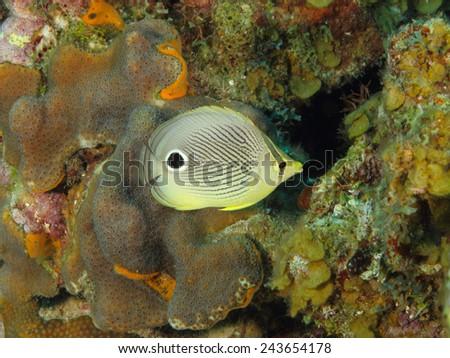 Foureye Butterflyfish (Chaetodon capistratus) on a Tropical Coral Reef - Roatan, Honduras - stock photo