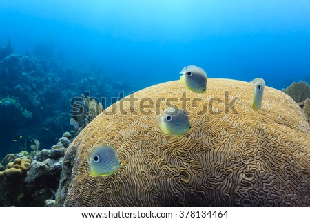 Foureye Butterflyfish chaetodon capistratus swimming above brain coral