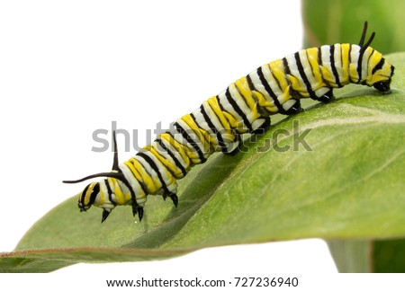 stock-photo-fourth-instar-monarch-caterp