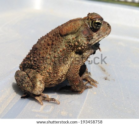 Fowler's toad (Anaxyrus fowleri) at the University of Mississippi Field Station - stock photo