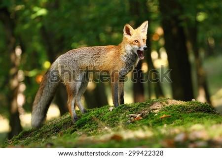 Fox chewing - stock photo