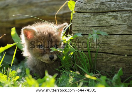 Fox cub  has got lost in the village and hides in the grass