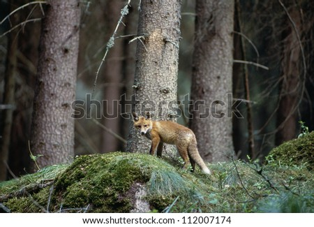 Fox cub in forest - stock photo