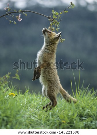 Fox cub on hind legs sniffing branch - stock photo