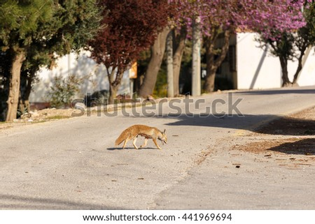 Fox female is searched of food in settlement - stock photo