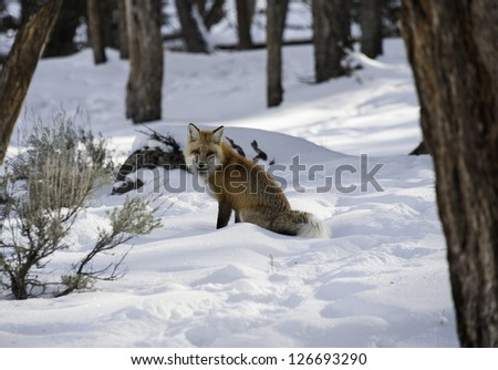Fox in a winter wonderland - stock photo