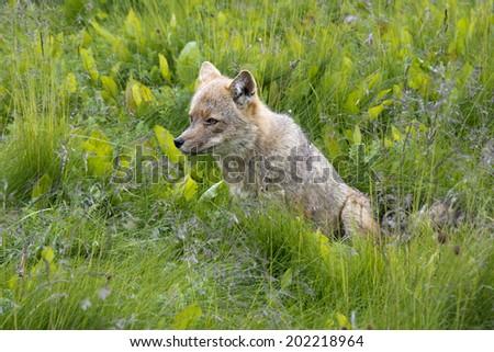 Fox in green Grass - stock photo