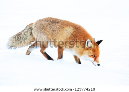 Fox in the wilderness looking for food - stock photo