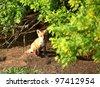 Fox kit by its den in Saskatchewan - stock photo