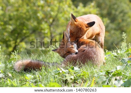 fox mammal European forests and wild canid