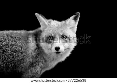 Fox on dark background. Black and white image - stock photo