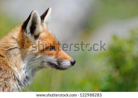 Fox profile (Vulpes vulpes)