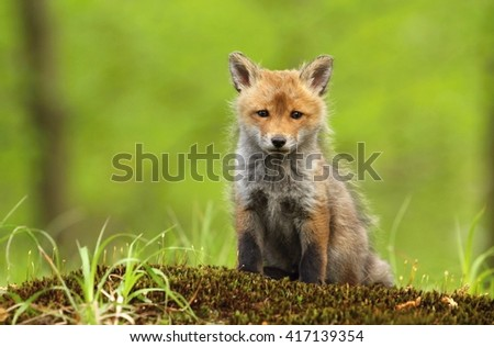 Fox puppy in forest