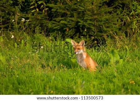 Fox, red fox - Vulpes vulpes