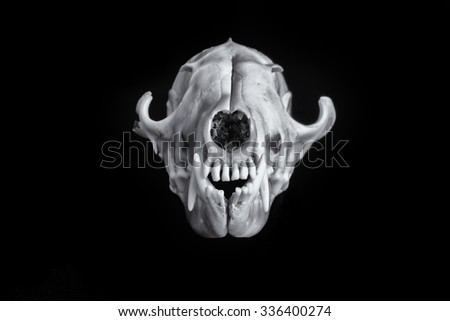 Fox skull on a beautiful black background making the image pop. - stock photo