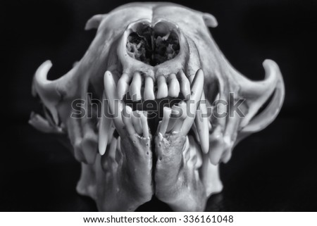 Fox skull on a black background. - stock photo