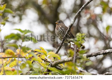 Fox sparrow bird