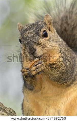 Fox squirrel (Sciurus niger) eating a pecan, Brazos Bend state park, Needville, Texas, USA - stock photo