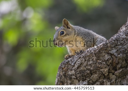 Fox Squirrel Sitting alone in a tree during daylight