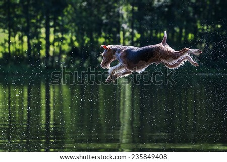 Fox Terrier jumps in water