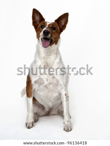 Fox-terrier on white background