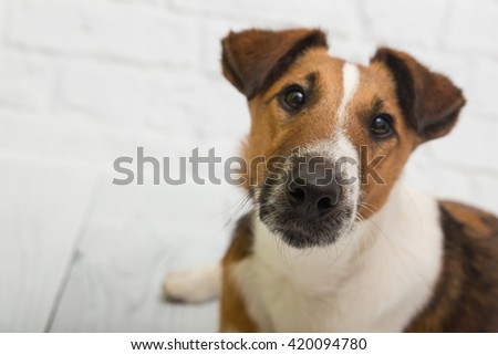 Fox terrier posing in studio in front of white wall