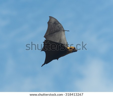 Foxes flying in the sky. biggest bat in Thailand