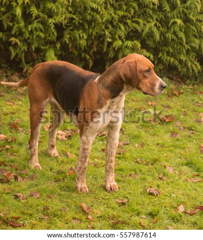 Foxhound (Canis lupus familiaris) in the Rural Village of Eggesford in Devon, England, UK.