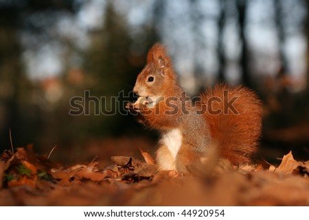 Foxy squirrel with nut - stock photo
