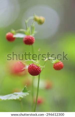 Fragaria vesca berries  - stock photo