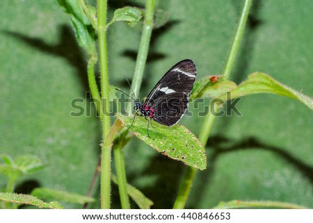 Fragile Black Cattle Heart Butterfly, Sitting On A Green Leaf, South America